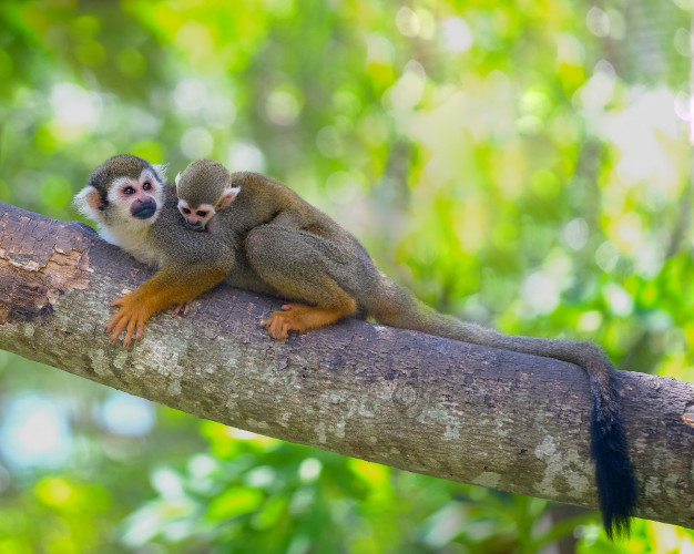 squirrel monkey costa rica